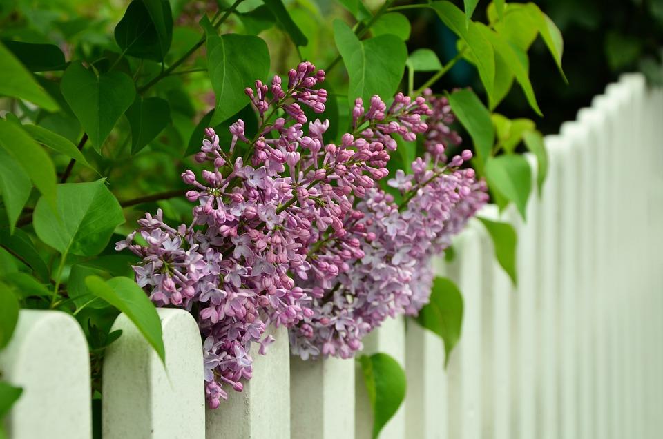 紫丁香, 篱笆, 白, 紫丁香树, 紫, 鲜花, 春天, 紫色的小花