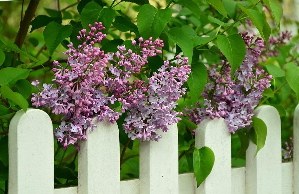 Lilac, Fence, White, Lilac Tree, Purple, Flowers