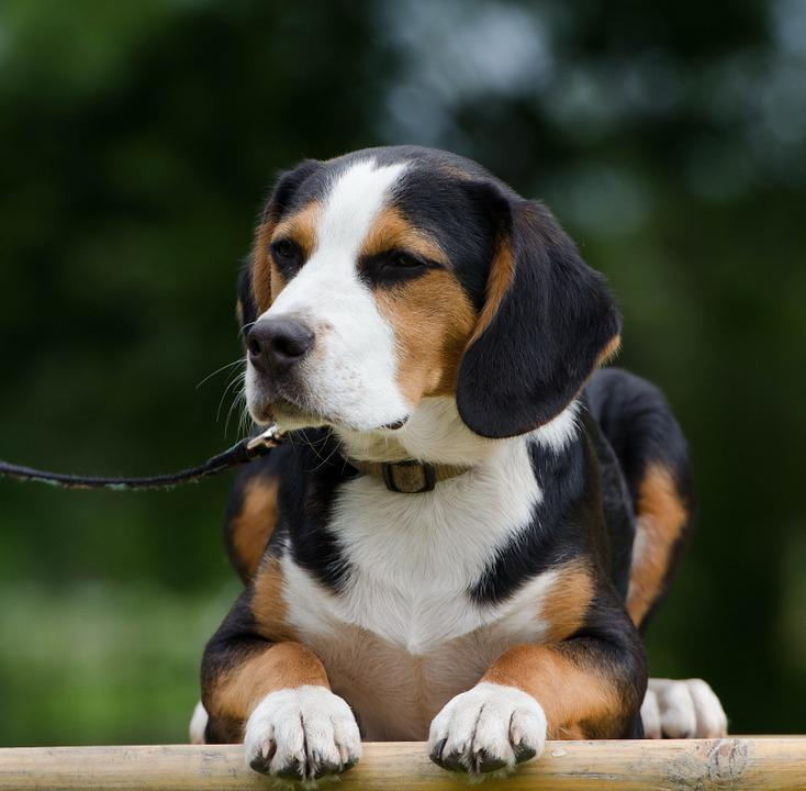 beagle cute breed mixes mixed beagles hybrid funny drever basset dog hound fur attention sizes mountain harrier swiss english scent