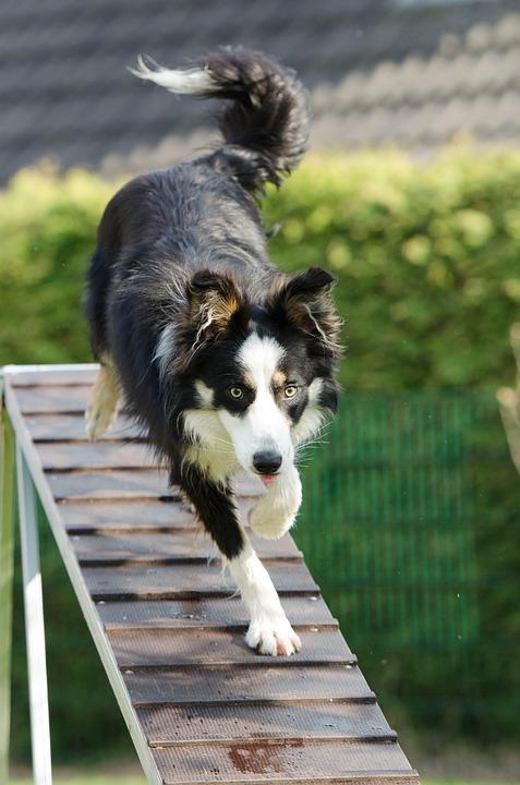 Agility, Web, Catwalk, Opleiding, Opleiding Van De Hond