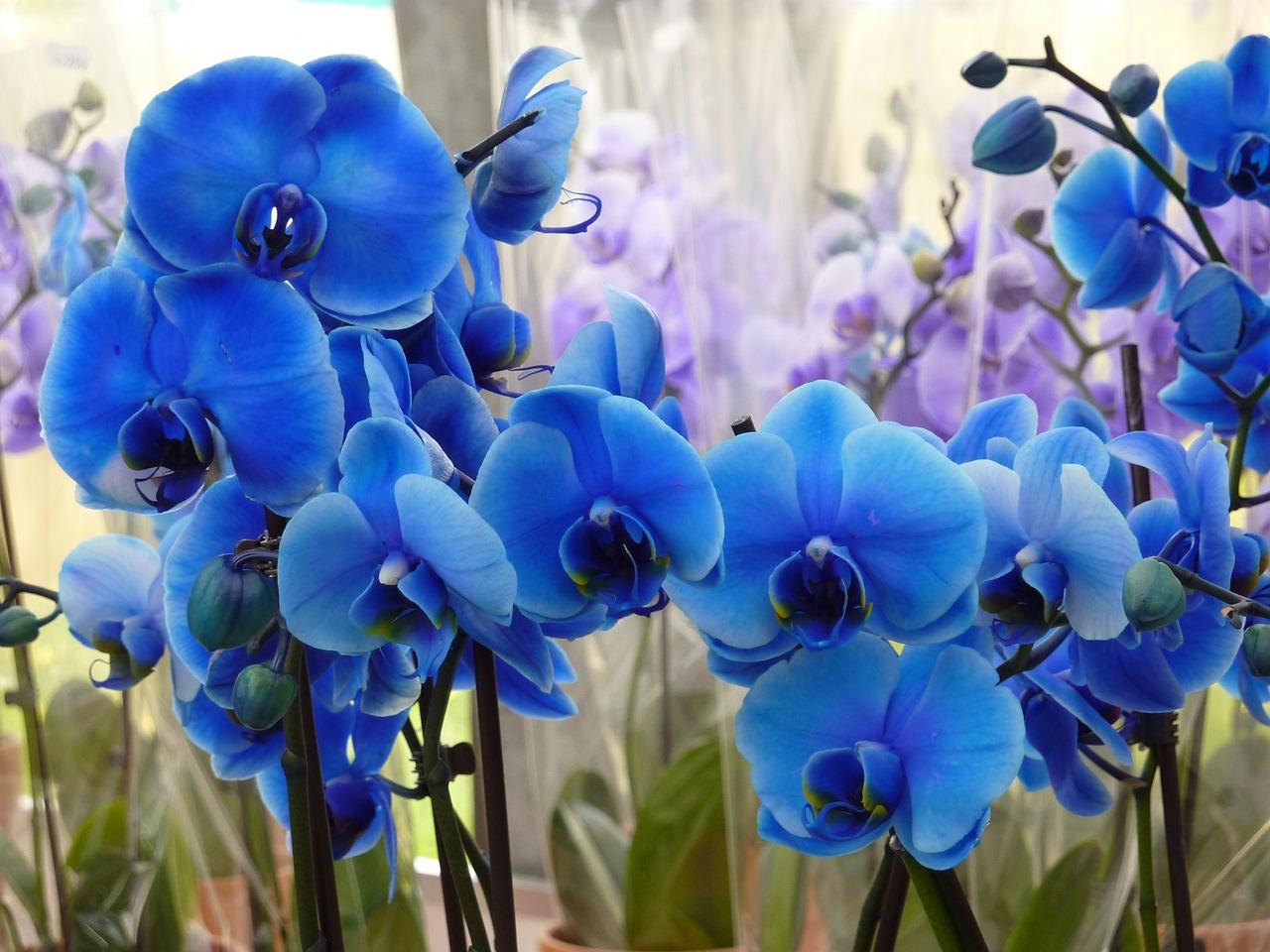 фото орхидеи фаленопсис голубая особенностей викки