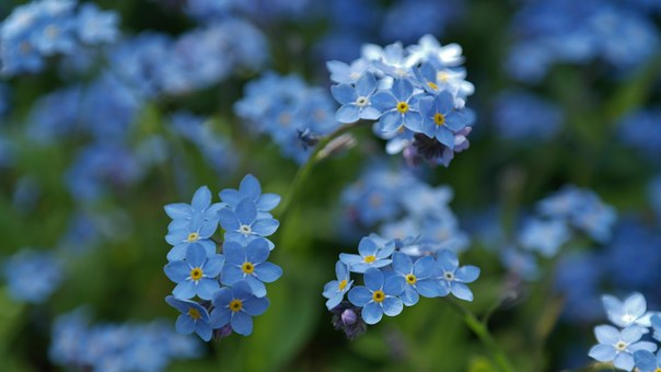 私を忘れる, 花, 牧草地, 野生の花, ブルーム, 自然, 牧歌