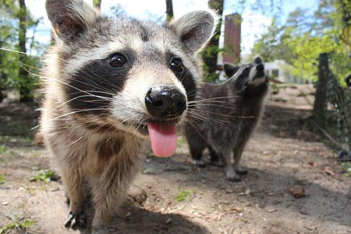 Raccoon, Animal, Cute, Cheeky