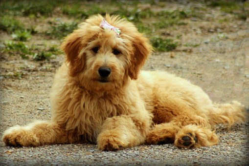 Goldendoodle, Dog, Puppy, Doodle, Animal