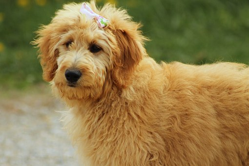 Goldendoodle, Dog, Canine, Pet, Animal