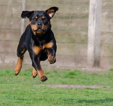 Rottweiler, Running Dog, Jump