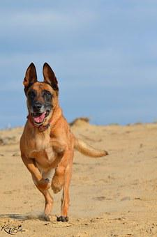Malinois, Sand, Summer, Beach, Warm, Sun
