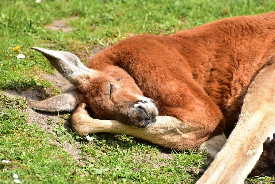 kangaroo images pixabay download free pictures