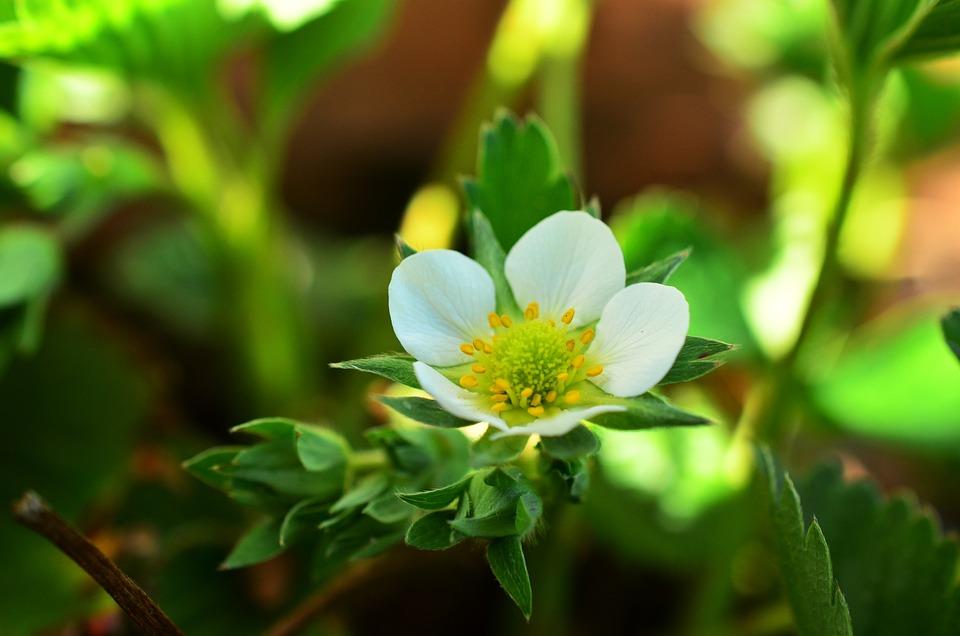 Fraisier Fleur De Fraises Photo Gratuite Sur Pixabay