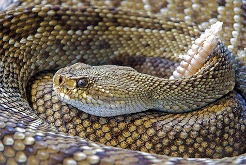 Snake, Rattlesnake, Reptile, Skin, Venom