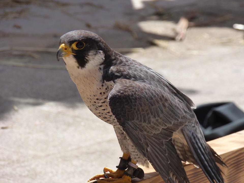 falcão peregrino falcão pássaro foto gratuita no pixabay
