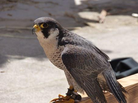 Peregrine, Falcon, Bird, Raptor, Profile