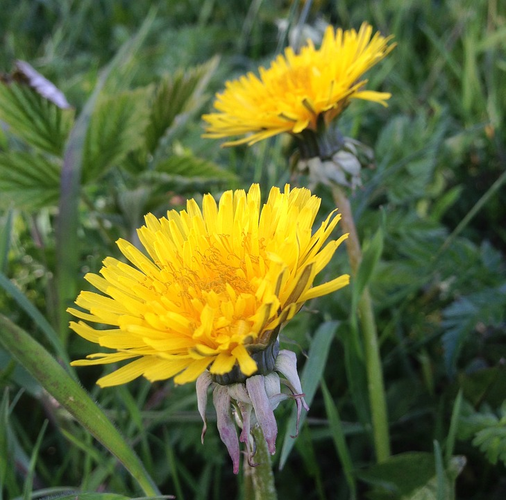 free photo dandelions, weeds, natural, flowers  free image on, Beautiful flower