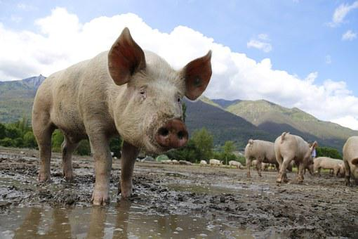 Pig, Sow, Domestic Pig, Livestock