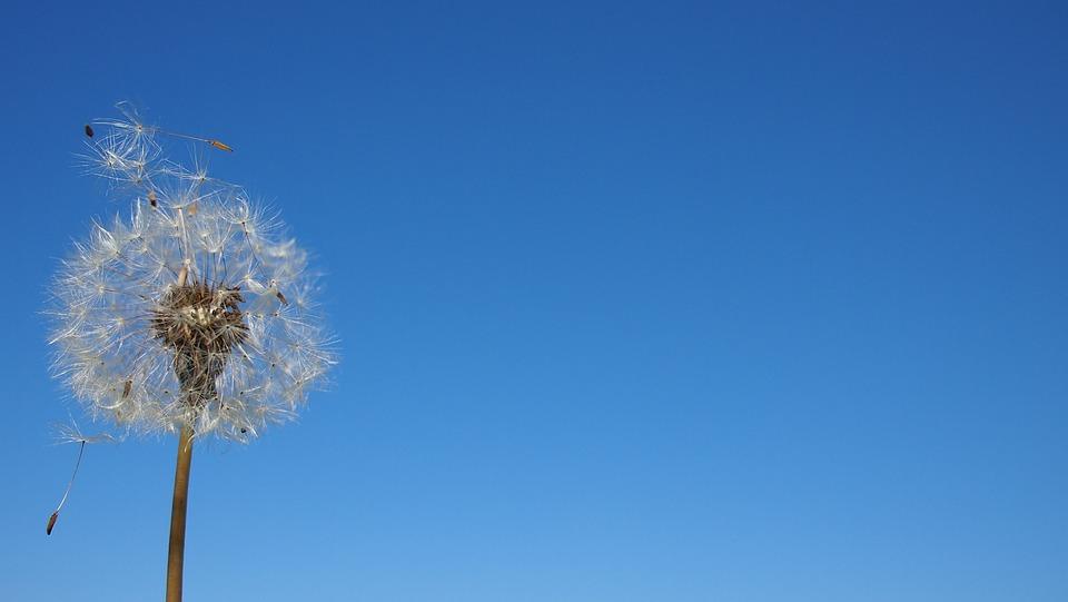 タンポポ, 胞子, 風, 植物, 花, 青空