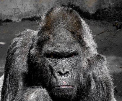Gorilla, Affe, Menschenaffe, Zoo