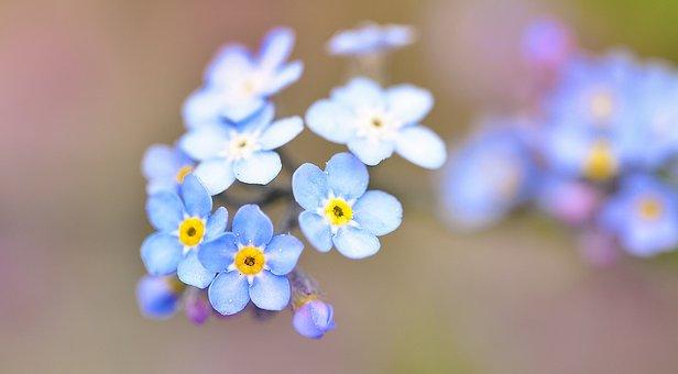 Vergissmeinnicht, Blume, Wiesenblume