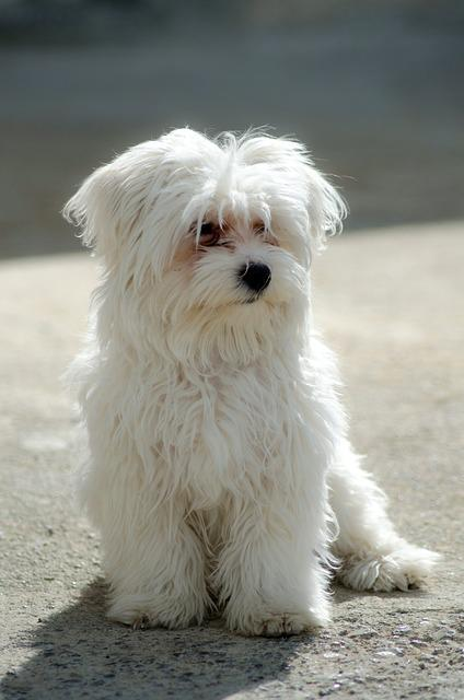 Foto gratis cane maltese animale domestico immagine for Razza maltese