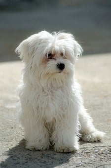 Dog, Maltese, Pet, White, Puppy, Fluffy