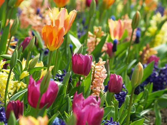 fleurs printemps tulipe photo gratuite sur pixabay. Black Bedroom Furniture Sets. Home Design Ideas
