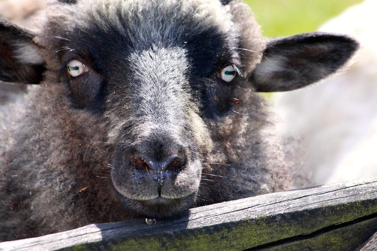 глаза овцы фото