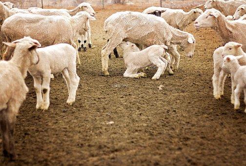 Lamb, Animal, Farm, Sheep, Nature