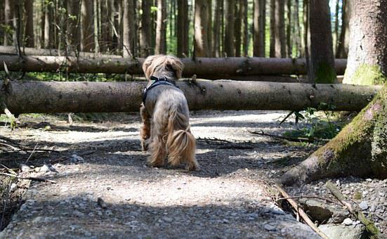 Two fallen trees blocking the way for a dog