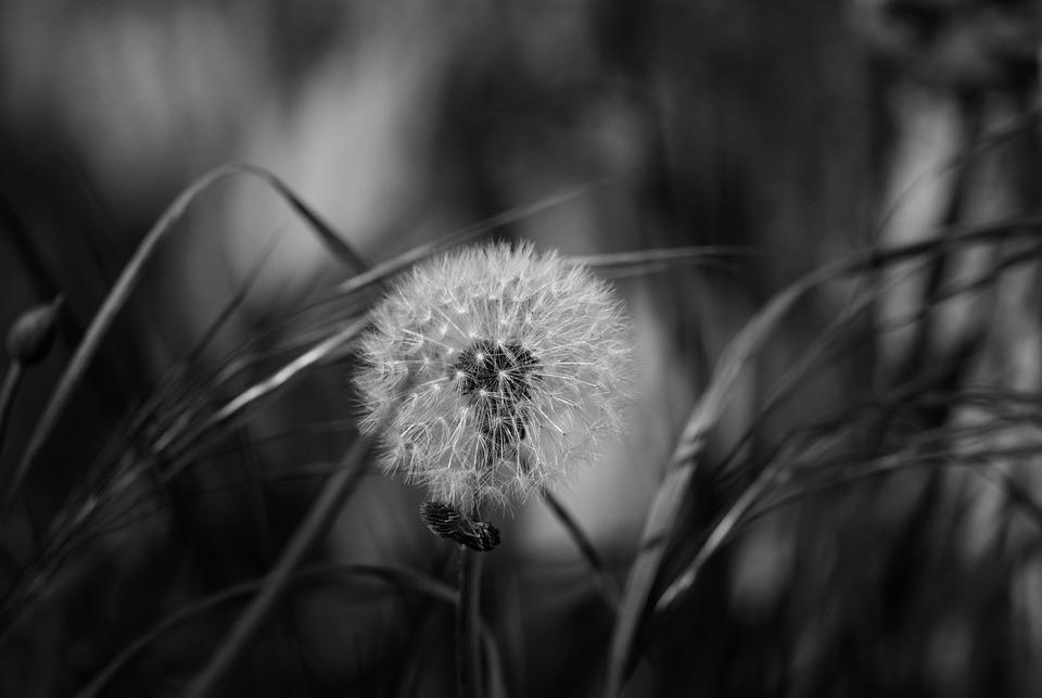 Dandelion Nature Black White Flower Garden