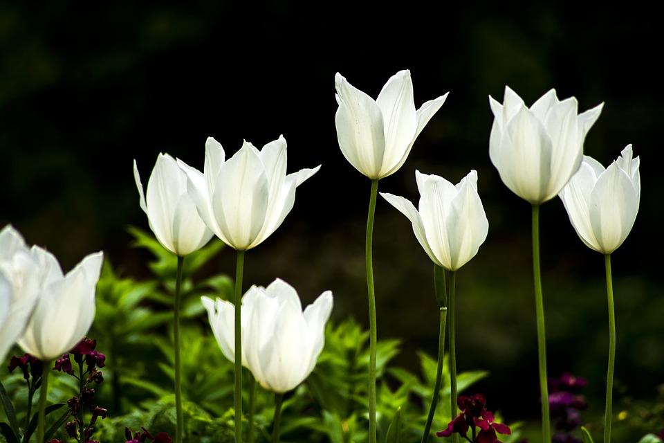 Tulip flower white free photo on pixabay tulip flower white flower spring plant garden mightylinksfo