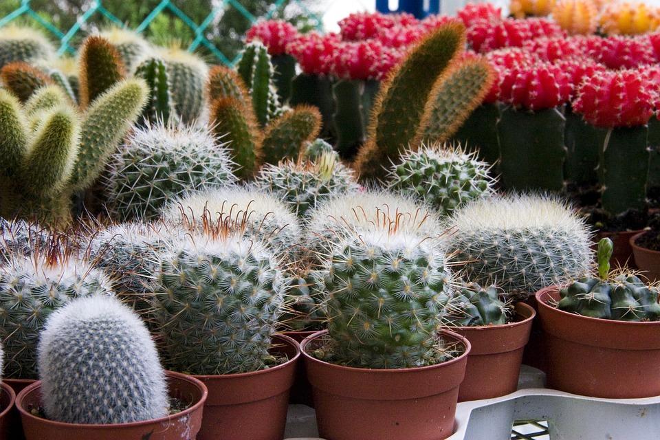 Mini Cactus Spike Plants Pot Cactus Garden Green