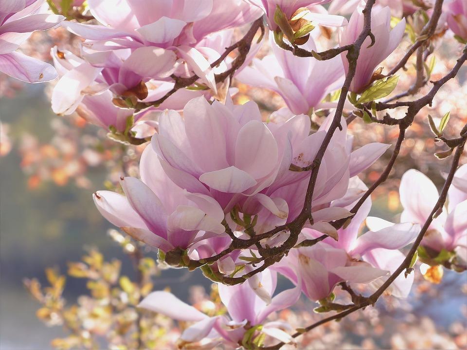 photo gratuite arbre magnolia rose fleurs image. Black Bedroom Furniture Sets. Home Design Ideas
