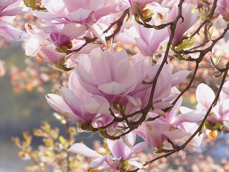 Magnolia tree images pixabay download free pictures tree magnolia pink flowers spring magnolia mightylinksfo