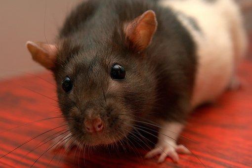 Rat, Homemade Životnoekrysa, Pet
