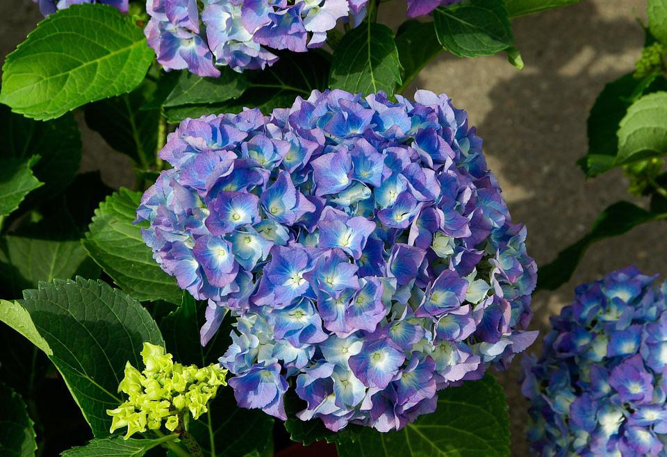 blue, hydrangea, flower  free images on pixabay, Beautiful flower