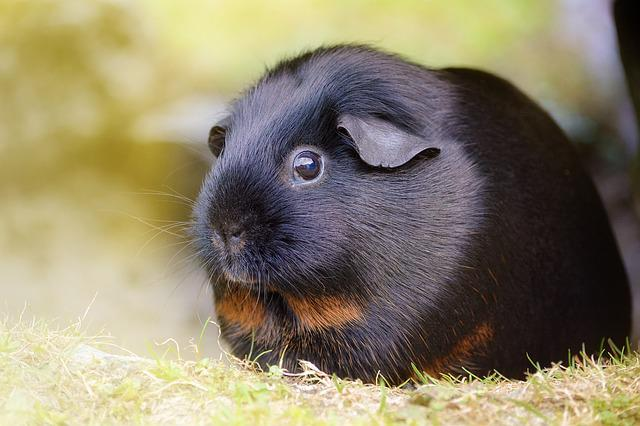 Free photo guinea pig smooth hair black tan free for Free guinea pig stuff