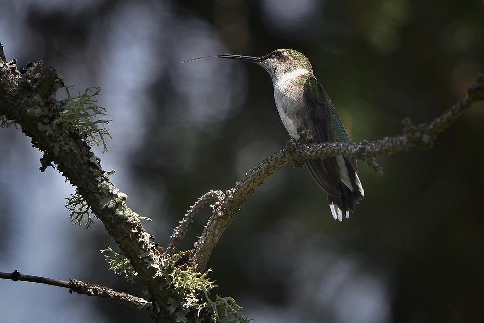 Colibri Oiseau Mouche Québec Petit · Photo gratuite sur ...