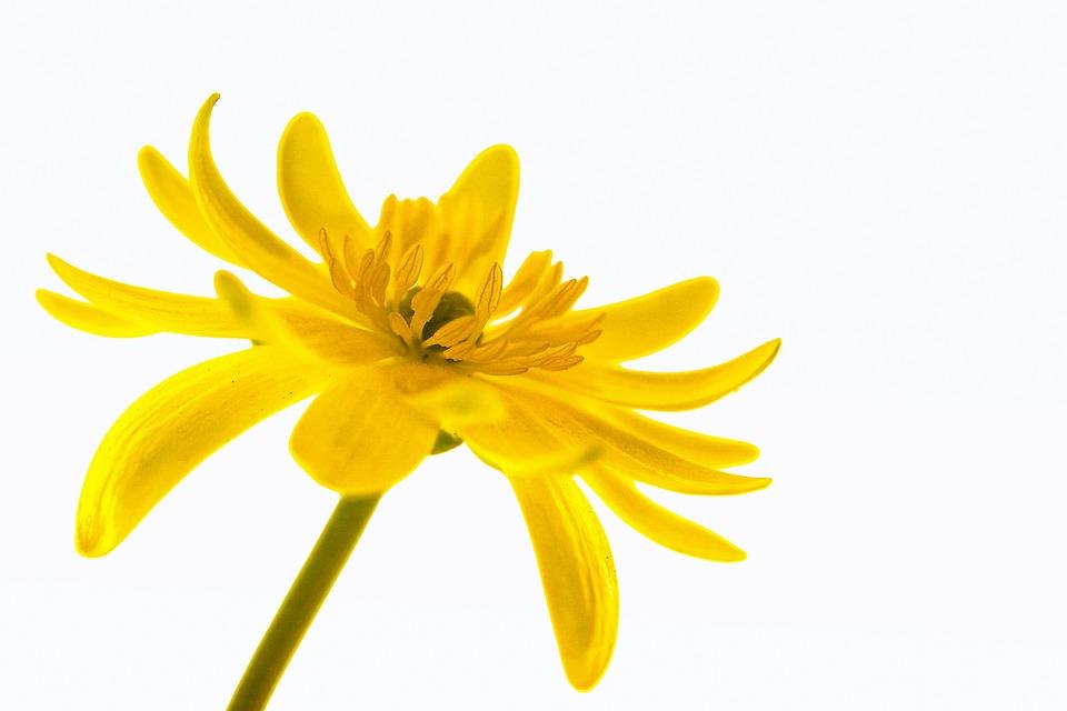 Smörblomma, Flora, Blomma, Isolerade, Liv, Pistill