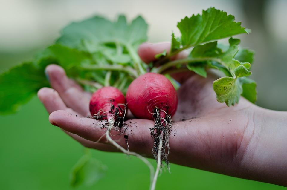 Radish, Hand, Green, Kitchen, Leafs, Vegetarian