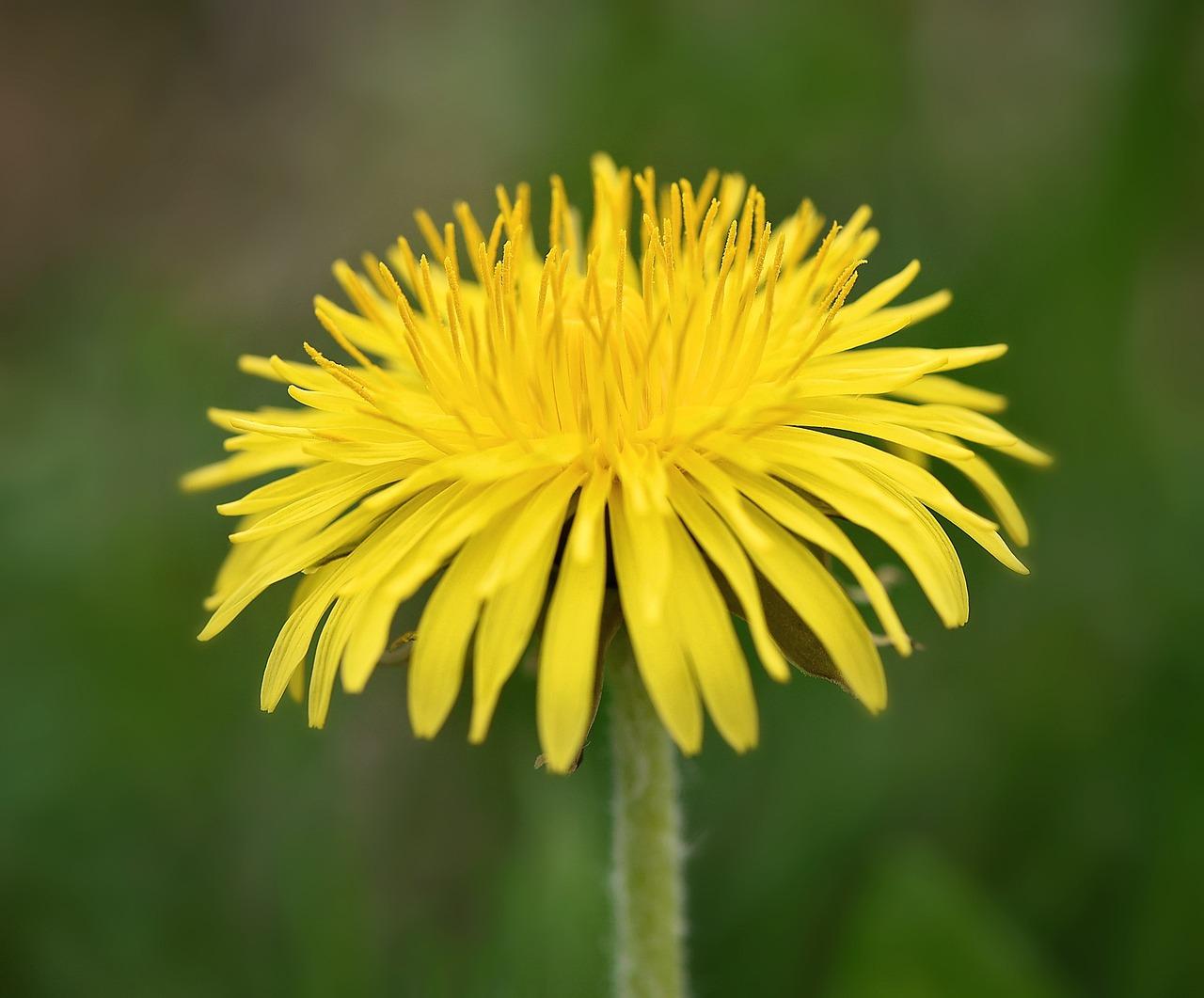 Растение картинка одуванчиков