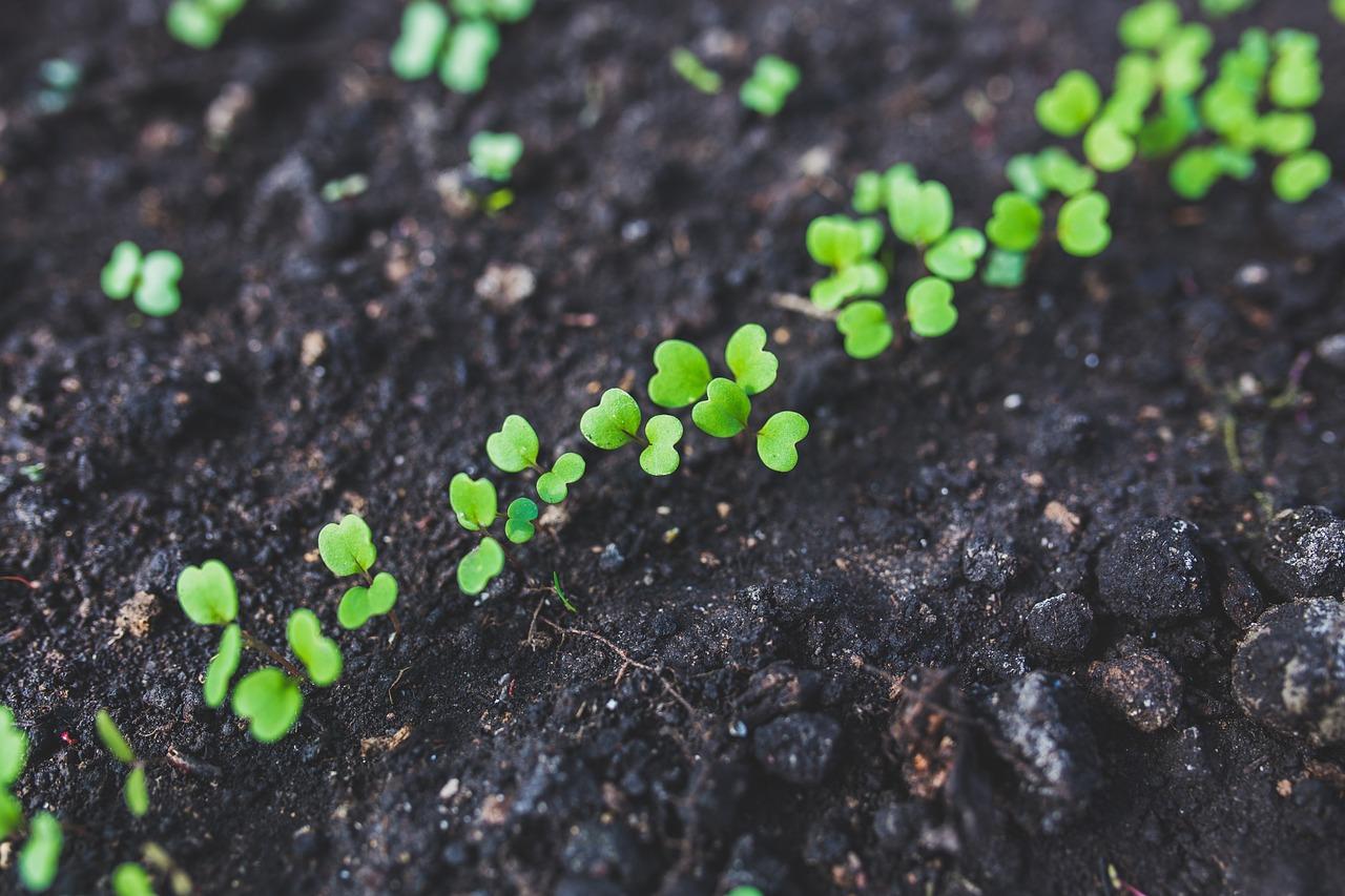 Как сажать зелень в открытый грунт