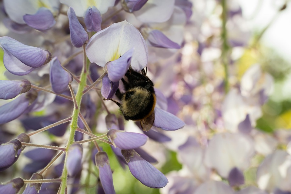 Hummel, Blue Rain, Collect, Nectar, Flowers, Wisteria