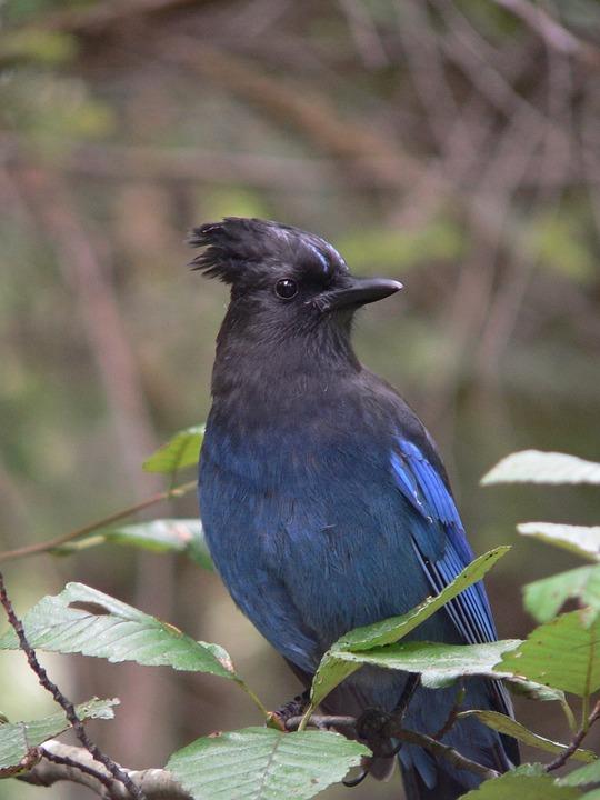free photo  bird  blue jay  canada