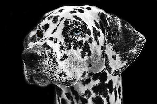 Dalmatians, Dog, Animal, Head