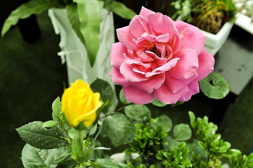 Rose Tea Peony Flowers Plant Ross Flower Garden
