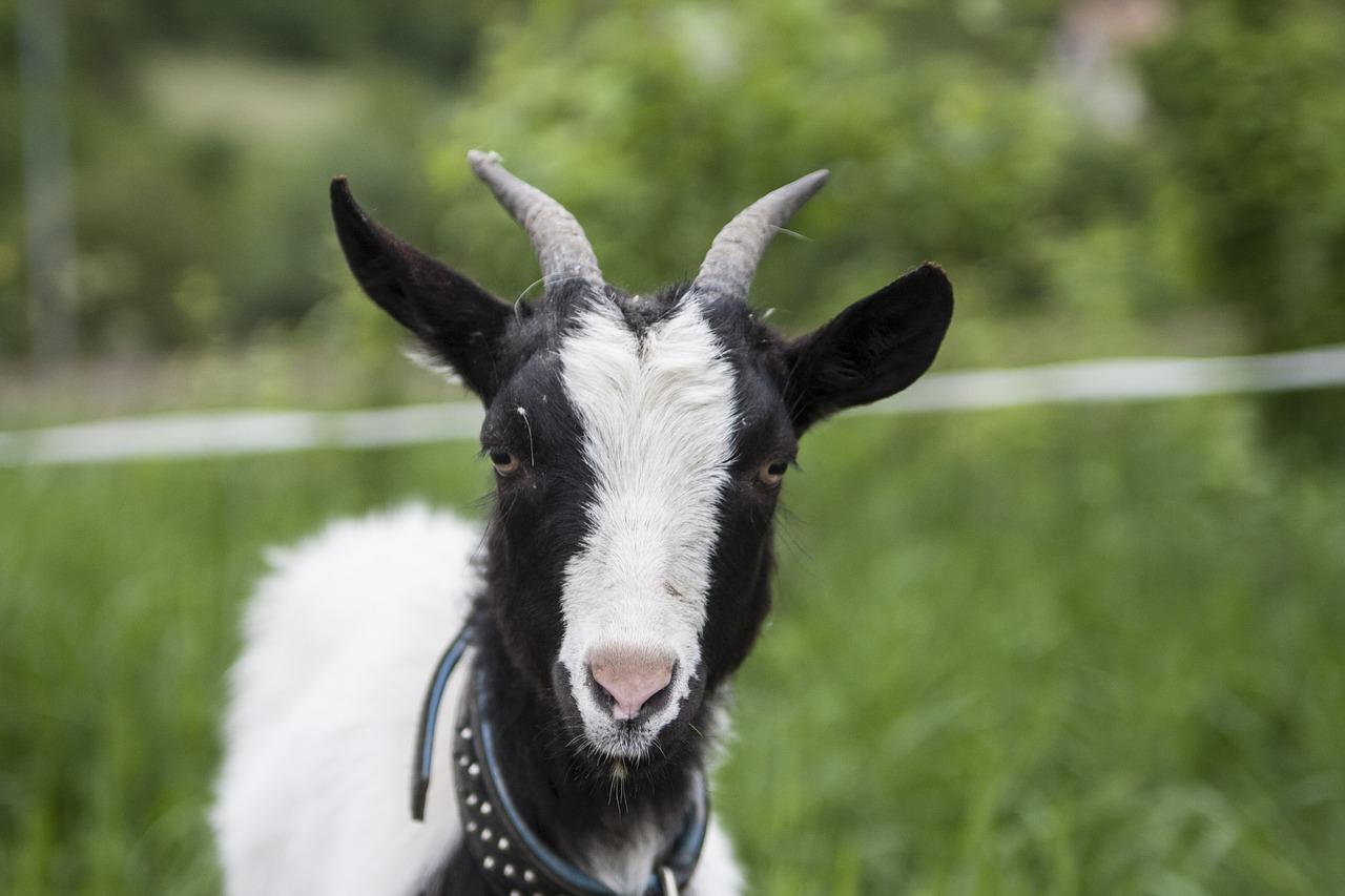знания, уши козы картинка жду, сих