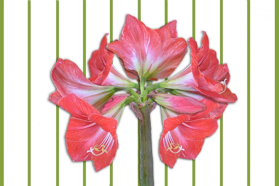 Amaryllis plant 100 100 head planter pots for sale top for Amarilis decoration