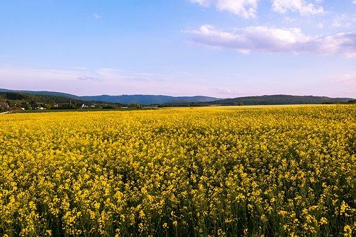 Oilseed Rape, Field Of Rapeseeds, Yellow