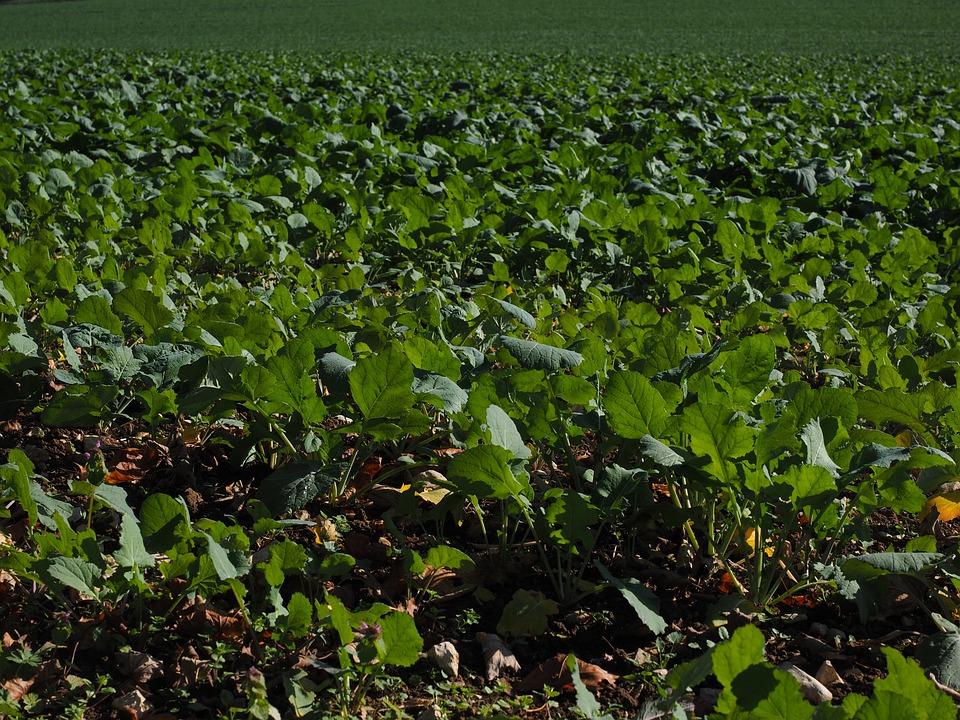 Photo gratuite colza d 39 hiver engrais vert colza image - Engrais vert d automne ...