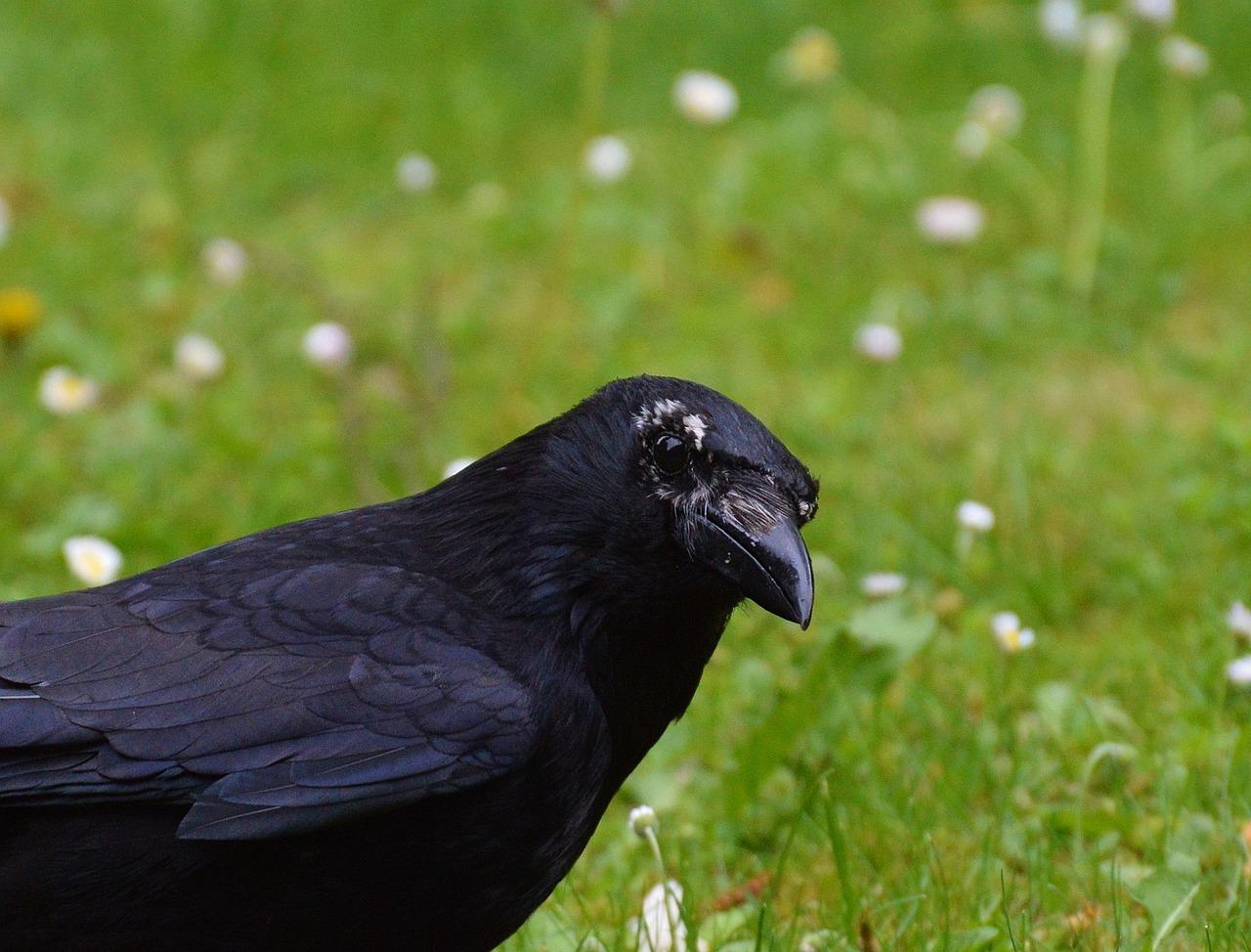 хранения фото черных воронов половодье время