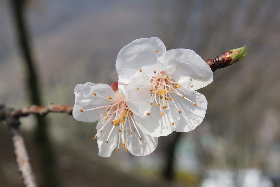 【色別】梅の花と実の花言葉の意味と由来|赤/白/恋愛